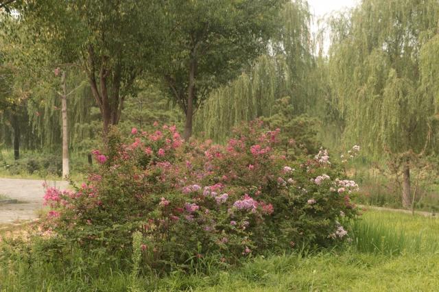 紫薇园—亮丽的风景线-唐山植物园